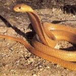 Naja Nivea - Cape Cobra, Geelkapel, Koperkapel.