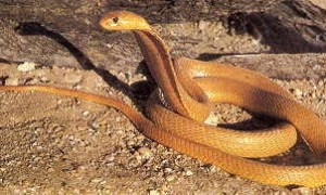 Naja Nivea - Cape Cobra, Geelkapel, Koperkapel.
