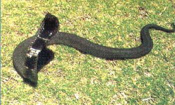 Hemachatus Haemachatus - Rinkhals