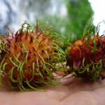 Rambutan, a local fruit similar to lychee