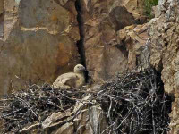Vulture chick
