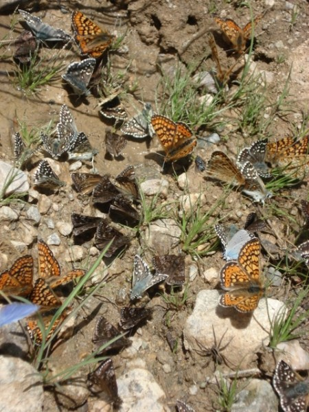 Butterflies in Turkey