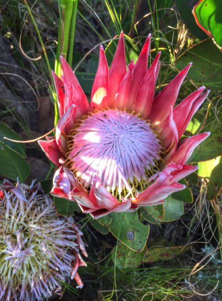King Protea, Table Mountain