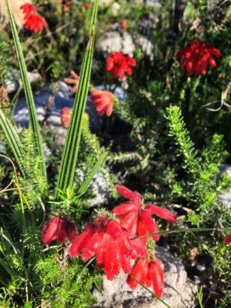 St James Hike Flowers fynbos